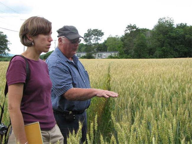 Farmers grow wheat in Maine again